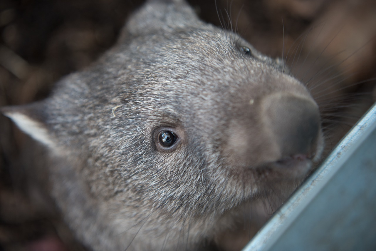 waddle of wombats