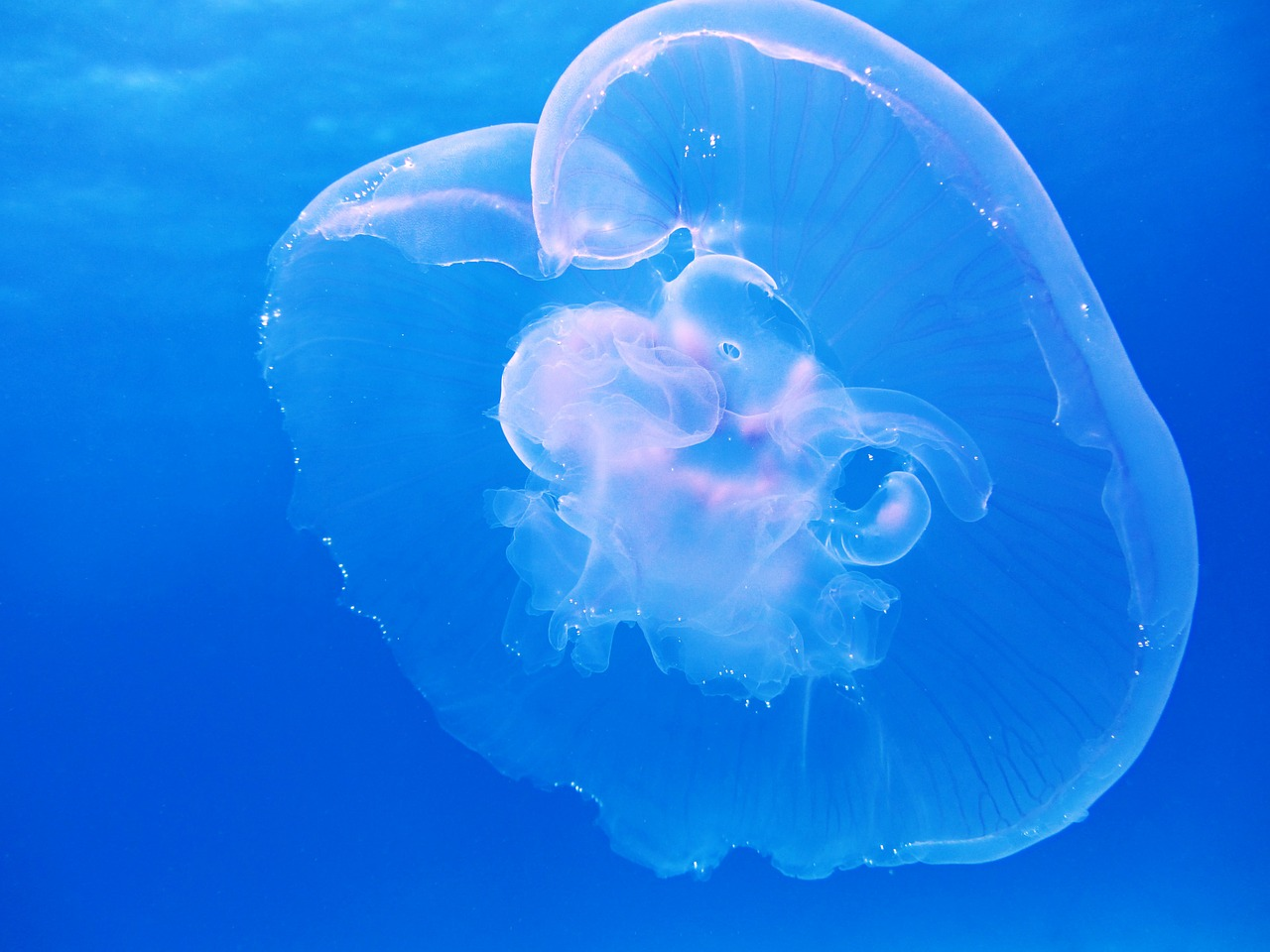 eclipse of moon jellyfish
