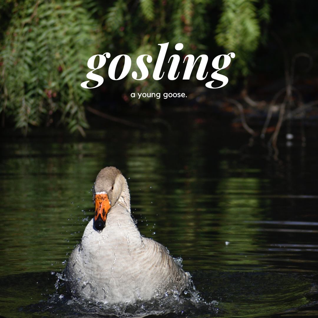 Picture of a gosling