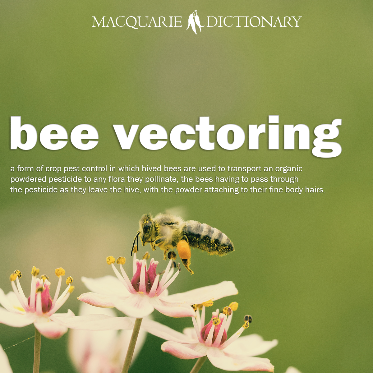 bee vectoring - a form of crop pest control in which hived bees are used to transport an organic powdered pesticide to any flora they pollinate, the bees having to pass through the pesticide as they leave the hive, with the powder attaching to their fine body hairs.