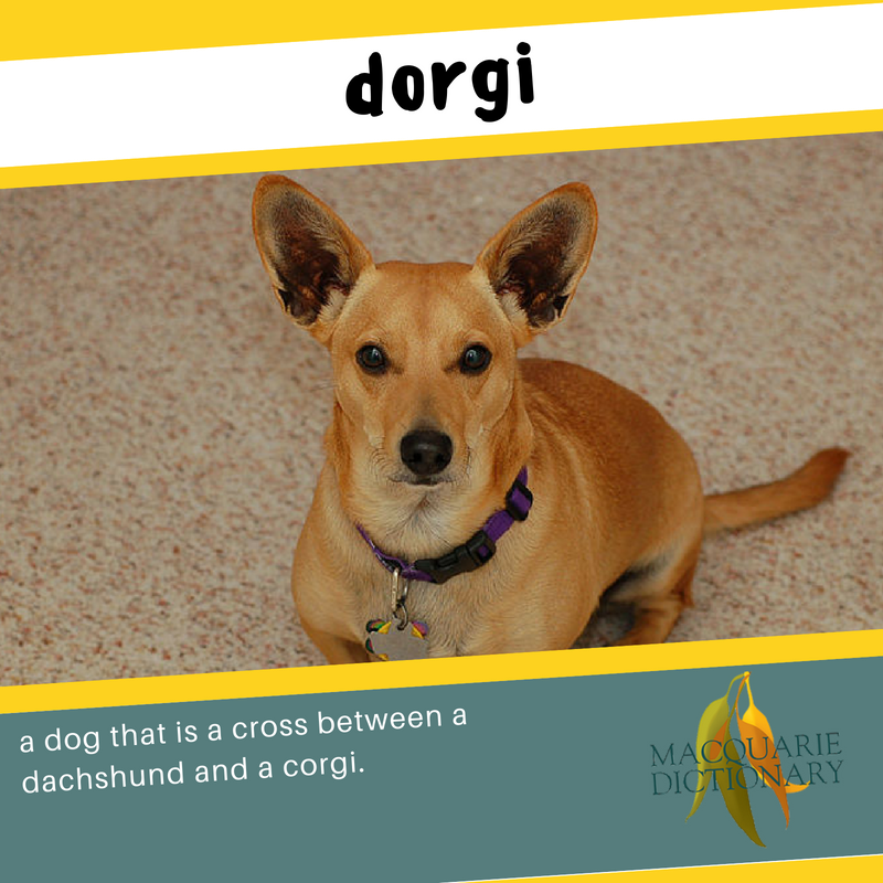 Macquarie Dictionary new words dorgi a dog that is a cross between a dachshund and a corgi
