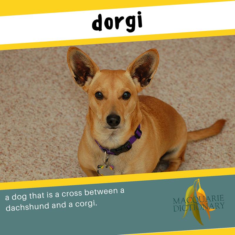 Macquarie Dictionary new words dorgi a dog that is a cross between a dachshund and a corgi