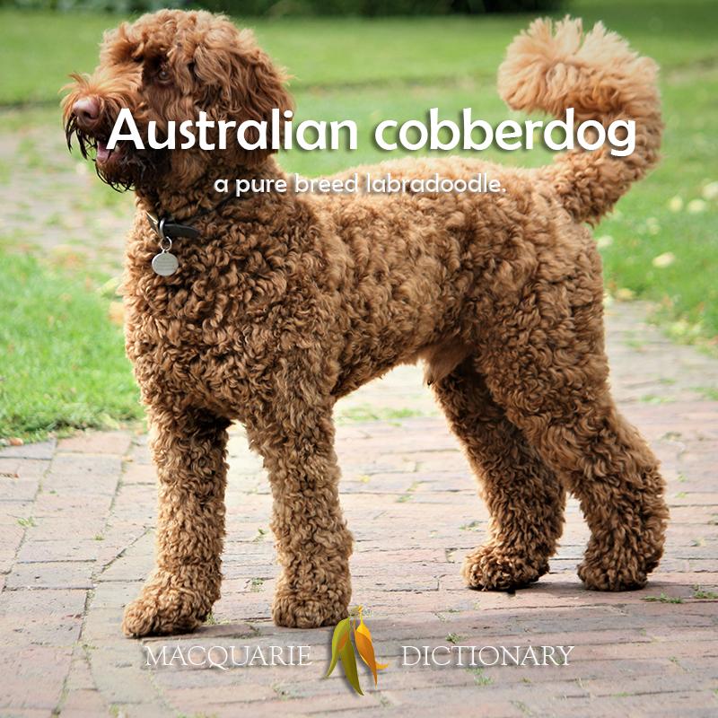 Australian cobberdog - a pure breed labradoodle