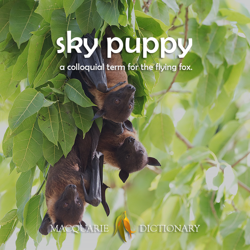 sky puppy - a colloquial term for the flying fox