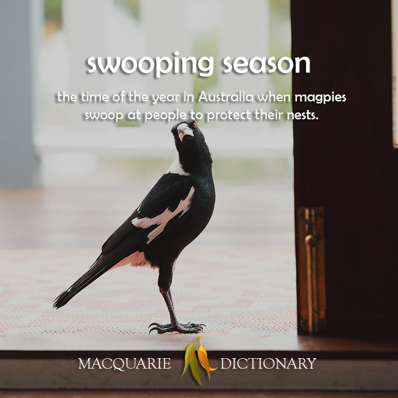 swooping season - the time of the year in Australia when magpies swoop at people to protect their nests