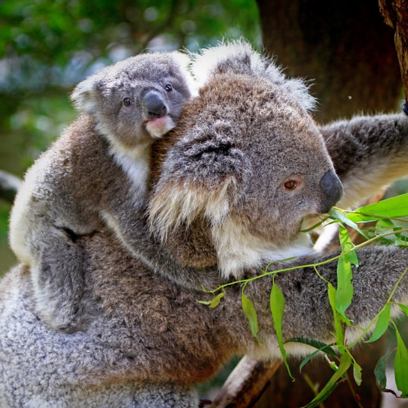 Macquarie Dictionary definition-koala-a tailless, grey, furry, arboreal diprotodont marsupial, Phascolarctos cinereus, of eastern Australia; the state faunal emblem of Qld.