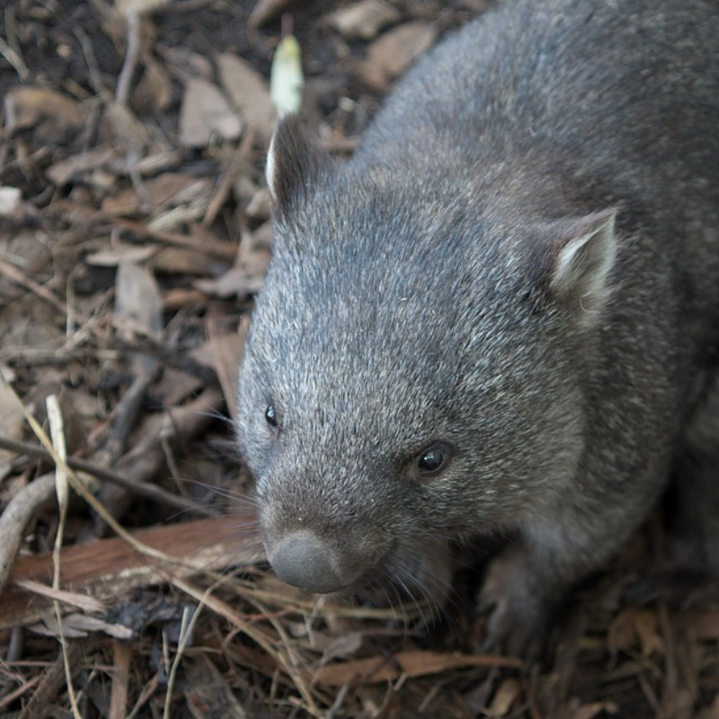 Macquarie Dictionary definition-wombat-any of several species of large, burrowing marsupials constituting the family Vombatidae, heavily built with short legs and a rudimentary tail, and somewhat resembling small bears.